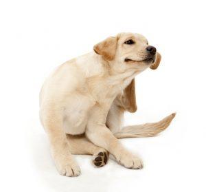 itchy-ear-lab