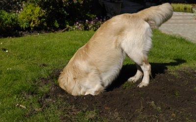 Why does my dog dig