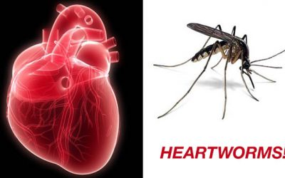 Heartworm – a parasite that kills your dog from the inside.