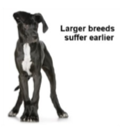 Large breeds suffer earlier